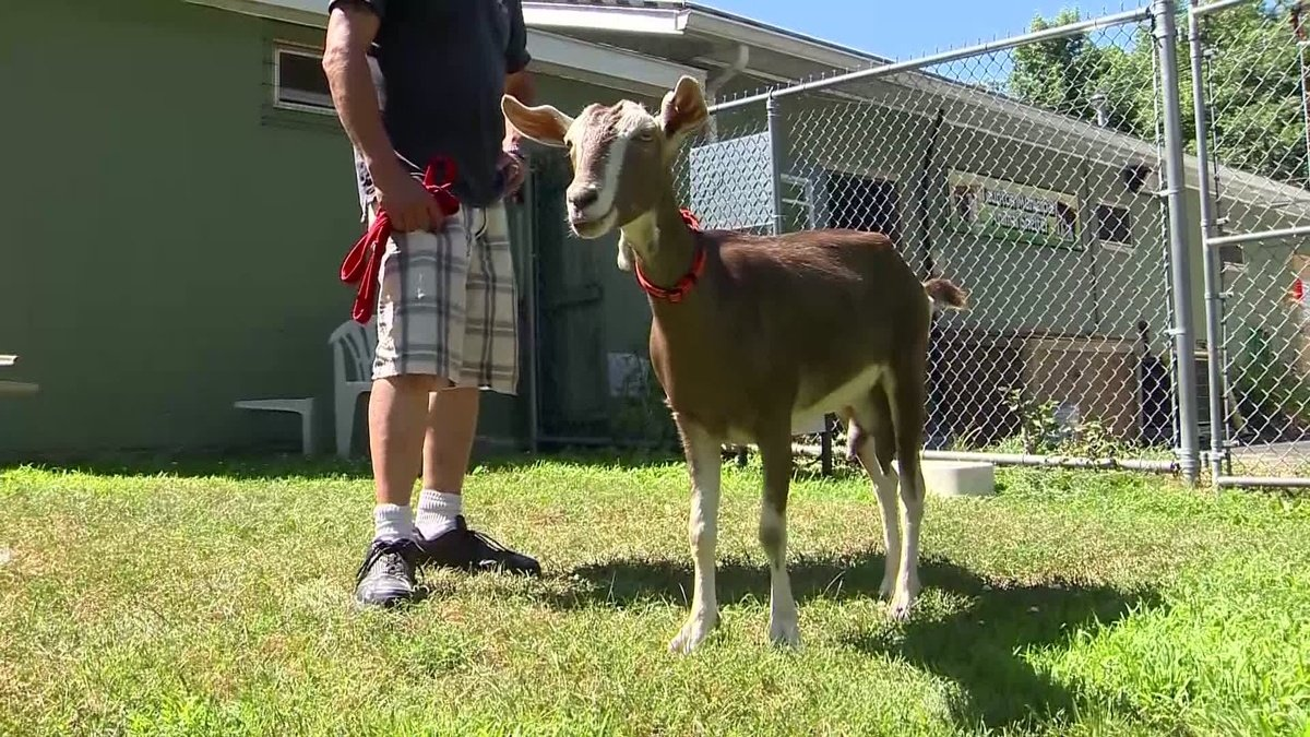 Men blew marijuana smoke in goat's face, Massachusetts police say