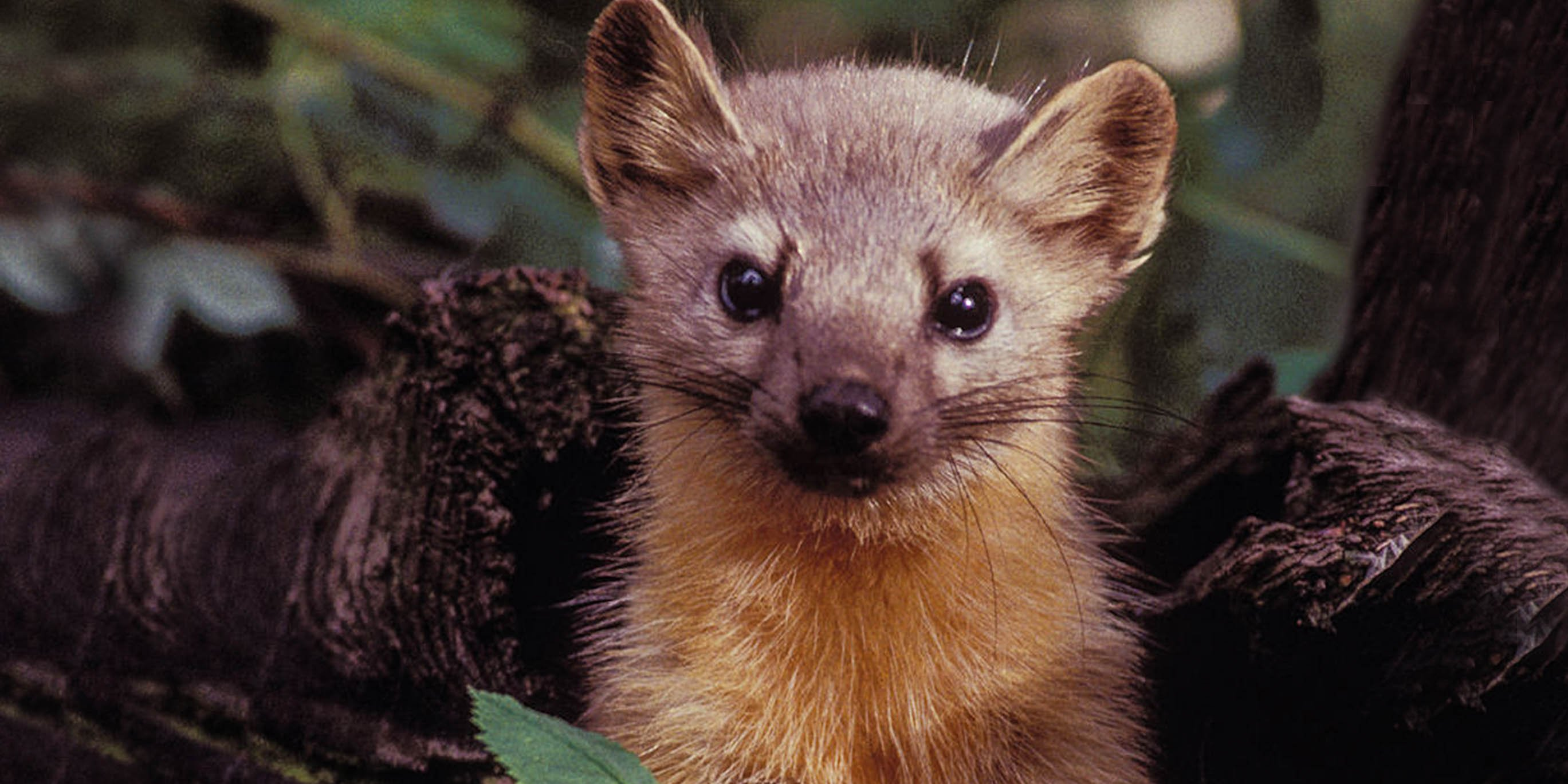 The Pine Marten Becomes The Latest Species Threatened By Cannabis Farms