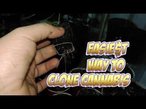Easiest way to clone Cannabis.