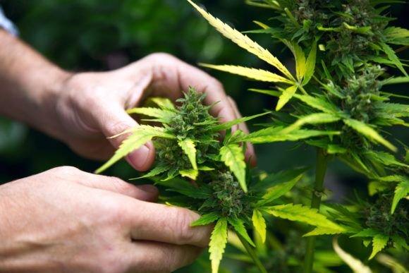 Los Angeles to Begin Licensing Marijuana Growers