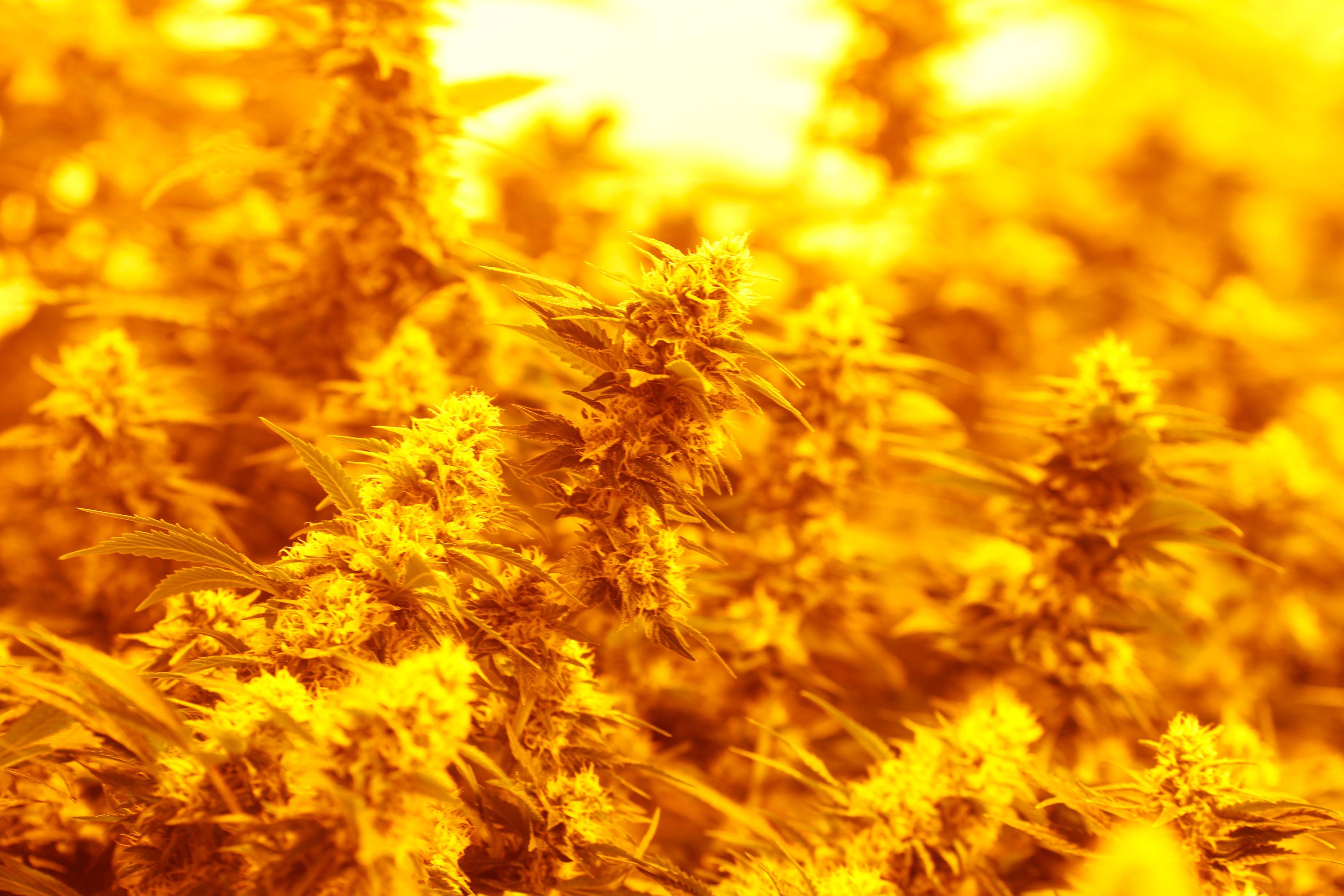 Medical marijuana sales are taking a nosedive in Colorado