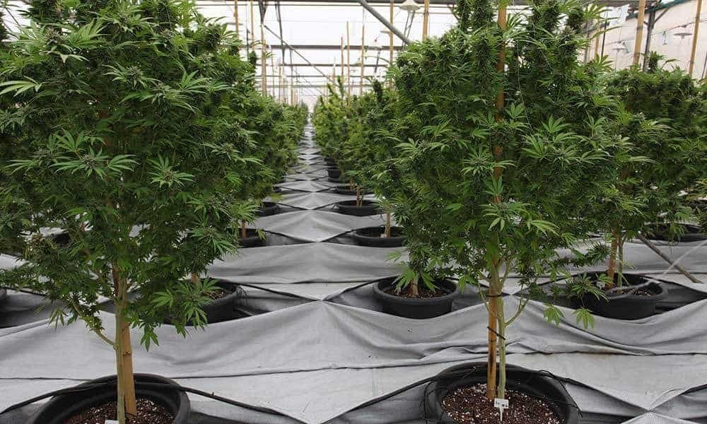 Peru Passes Bill to Legalize Medical Marijuana