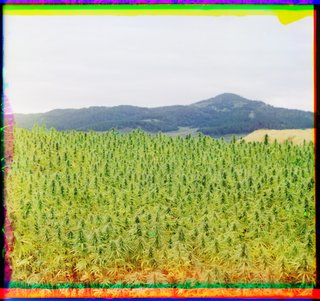 The first colour photograph of cannabis. 1910 in Russia, by photographer Sergei Mikhailovich Prokudin-Gorskii using his three-colour photography process.