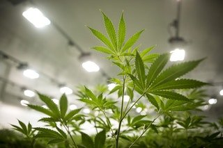 Wrigley Billionaire Moves From Chewing Gum to Medical Marijuana