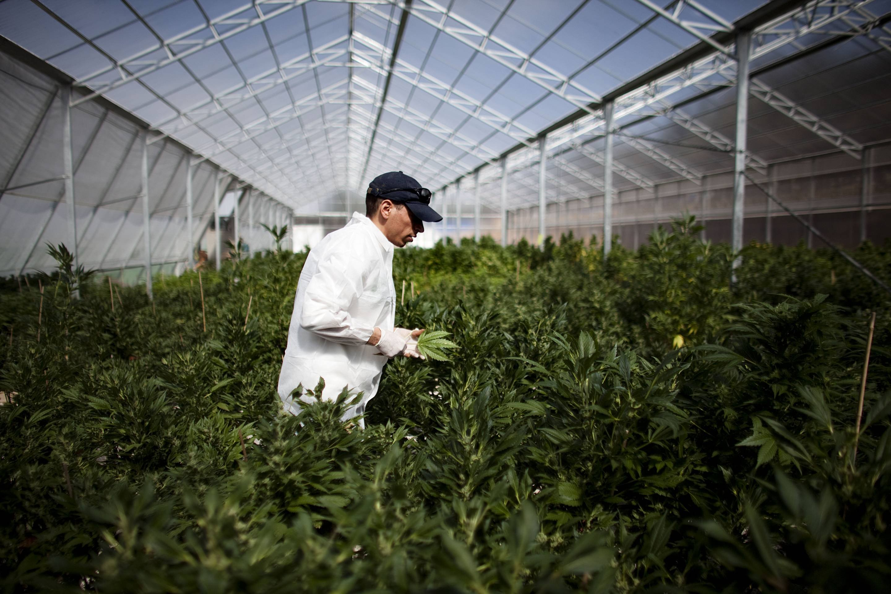 High-Grade Pot Jobs Have Arrived, Marijuana Industry Report Says