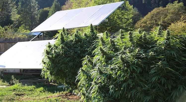 How Much Does A Marijuana Plant Yield?