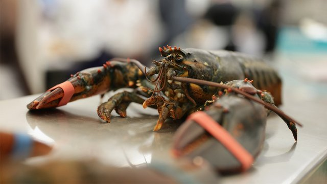 Maine restaurant to get lobsters high off marijuana smoke before killing them