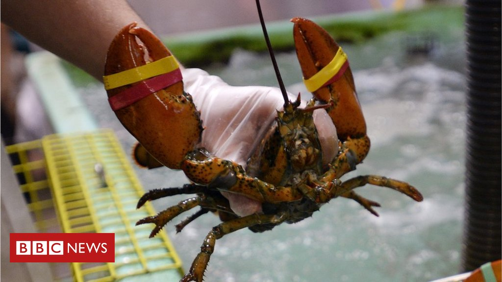 Restaurant sedates lobsters with marijuana