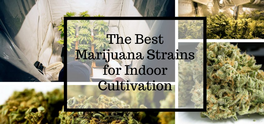 The Best Marijuana Strains for Indoor Cultivation