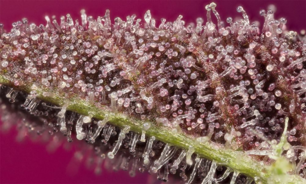 The Secret World of Trichomes | Cannabis Now