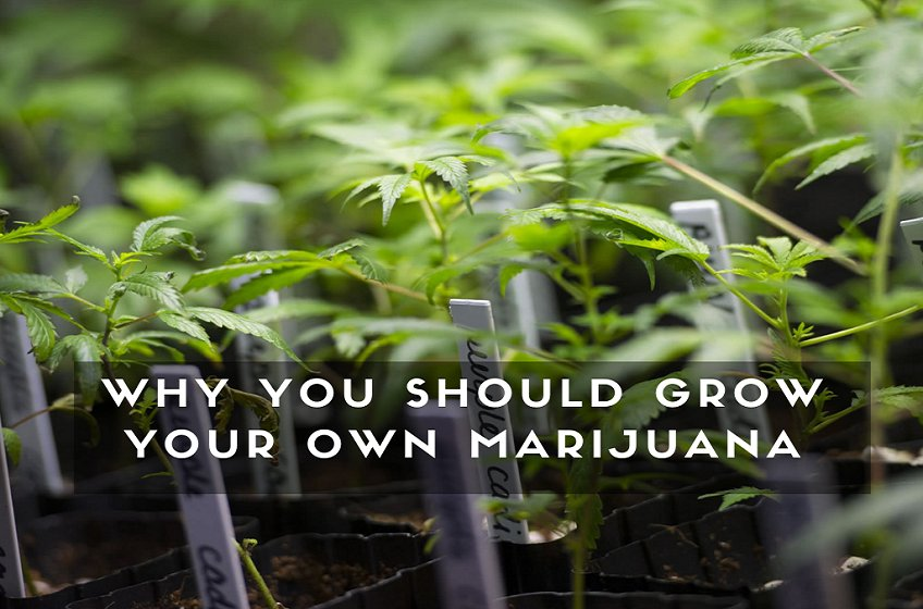 Why You Should Grow Your Own Marijuana