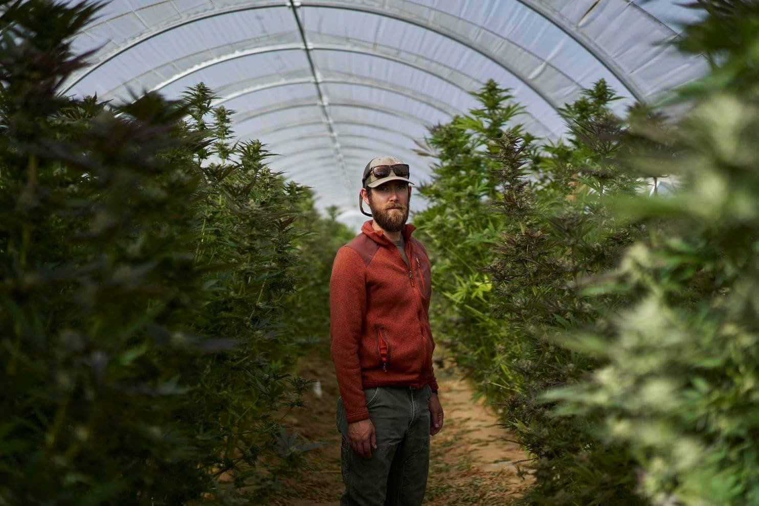 Marijuana is emerging among California's vineyards