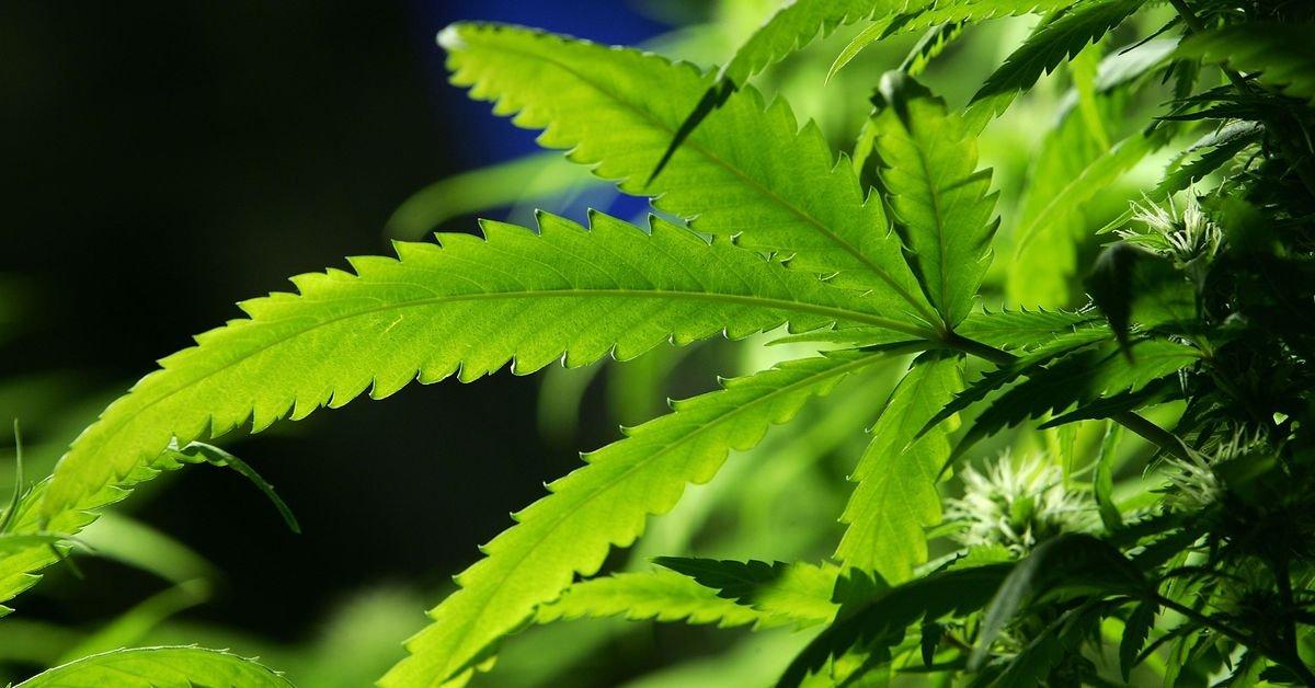 Marijuana legalization in the midterms: Michigan, North Dakota, Utah, and Missouri