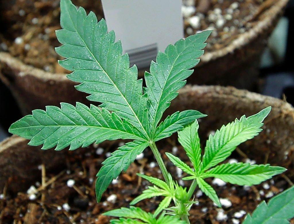 New Rulings on Medical Marijuana Use Go Against Employers