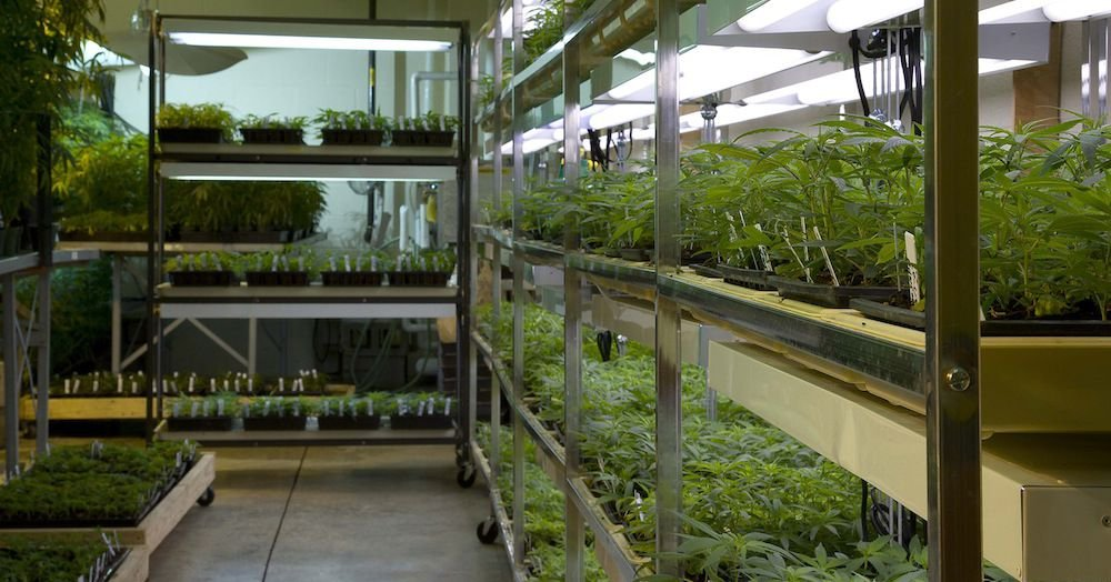 Why the future of marijuana farming could be craft weed