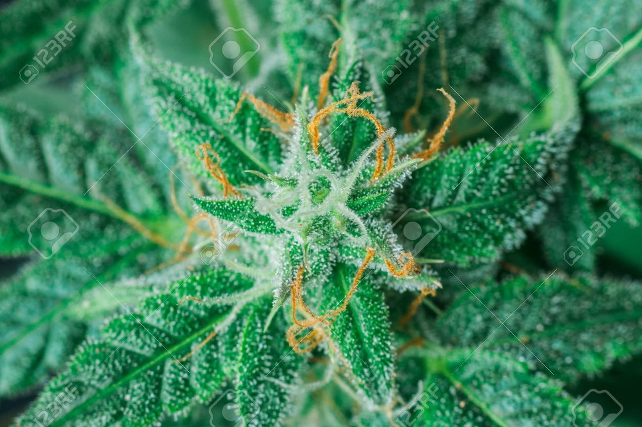 Do Sativa Trichomes Turn Amber? - RMS