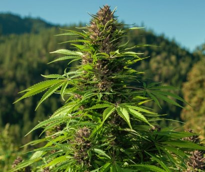 How Effective are Hybrid Medical Weeds - Marijuana Seeds USA
