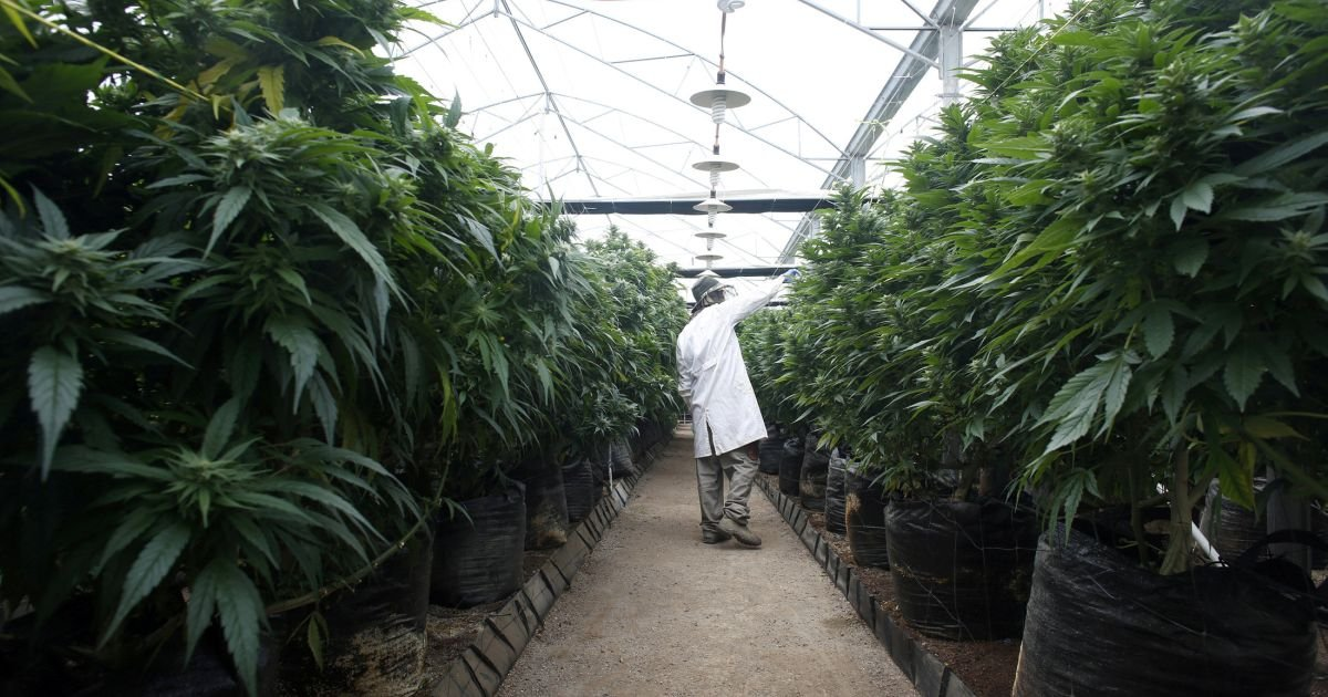 Israel's cabinet is expected to approve medical marijuana exports this weekend