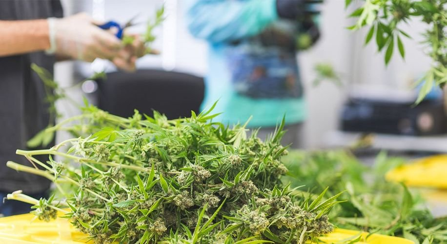 Oregon Grew Over a Million Pounds of Weed Last Year That No One Is Smoking
