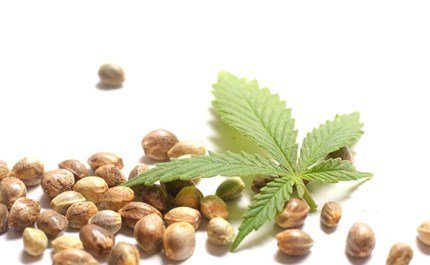 10 BEST MARIJUANA SEEDS IN TORONTO
