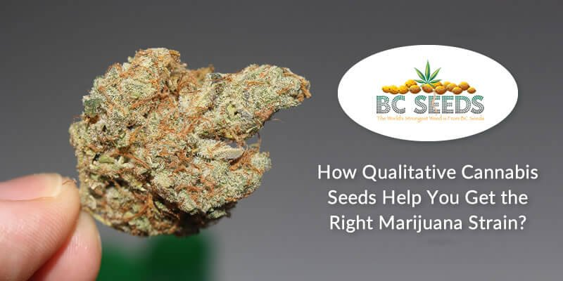 2 Main Factors to Lookout While Looking at a Cannabis Seed Qualitatively.