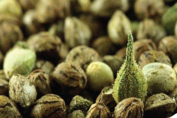 Can You Smoke Marijuana Seeds?