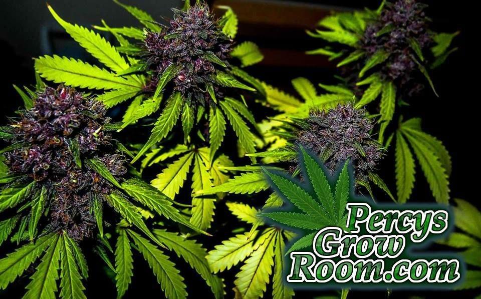 Purple Buds, How They're Grown - Percys Grow Room