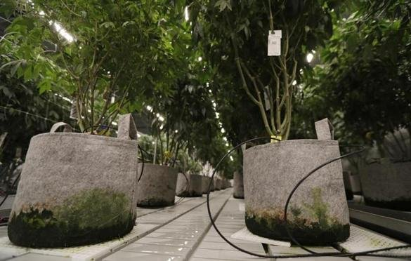 Scientists used marijuana consumers' urine to produce electricity