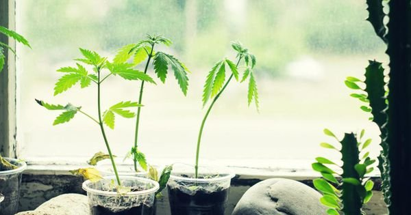 An article explaining why all marijuana companies should support legal home cultivation