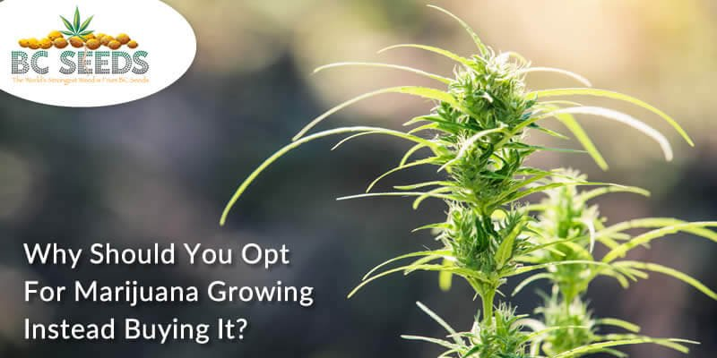 Few Reasons Why You Should Opting For Growing Marijuana Instead Of Purchasing It?