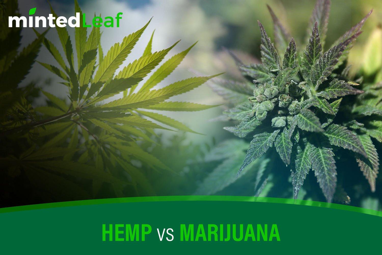 Hemp vs. Marijuana | mintedLeaf - 2019 Hemp Blog ✓