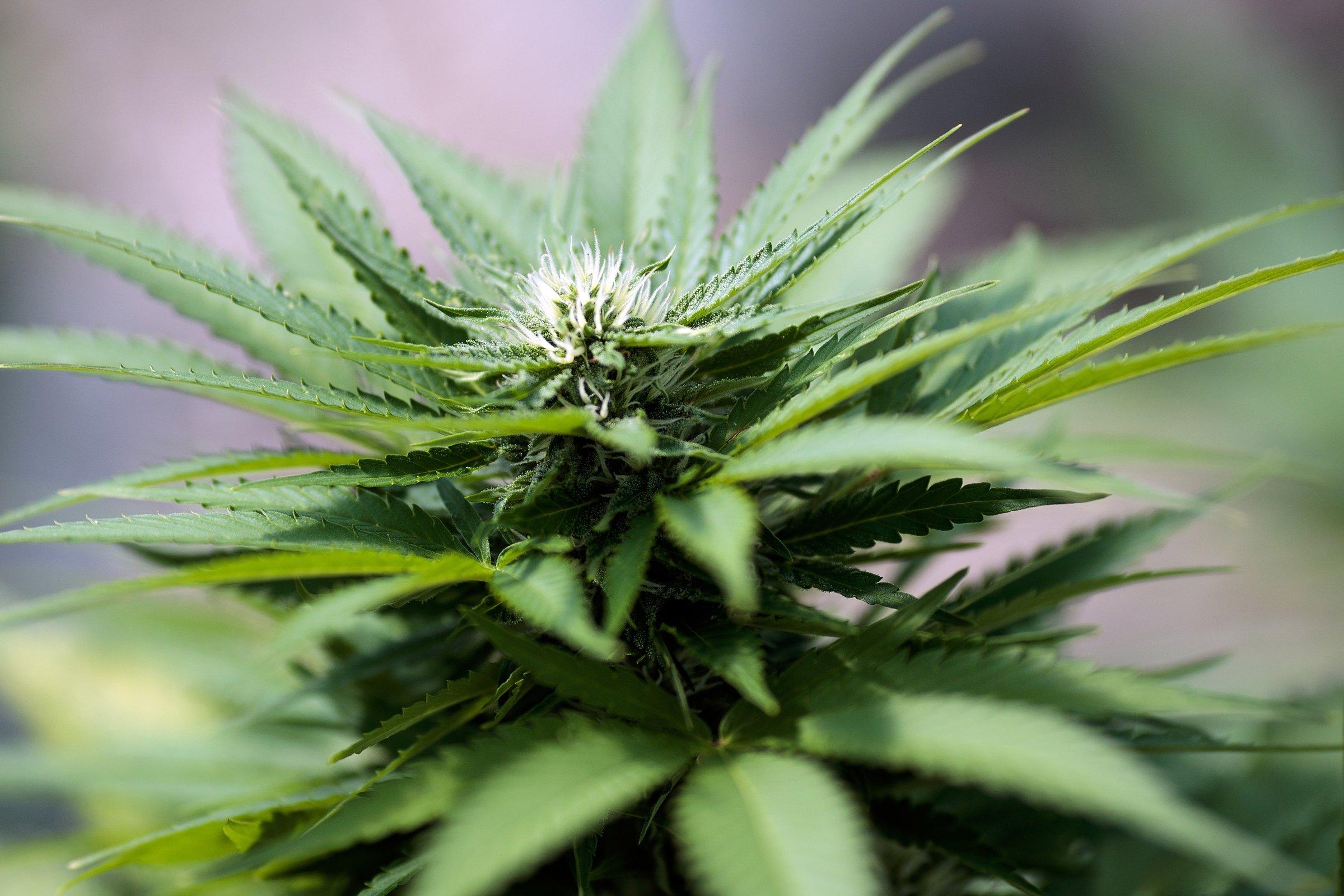 New York City Considering Major Marijuana Testing Ban