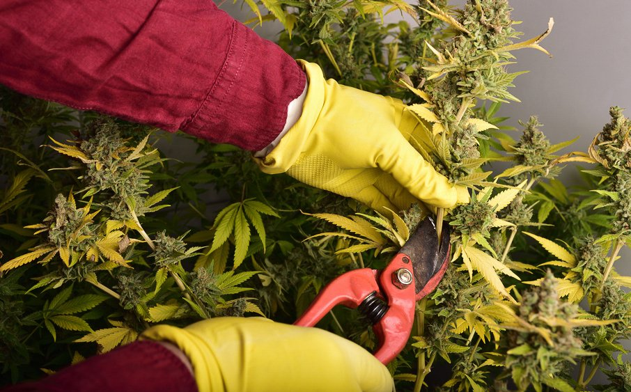 Should You Hand Trim or Machine Trim Your Cannabis?