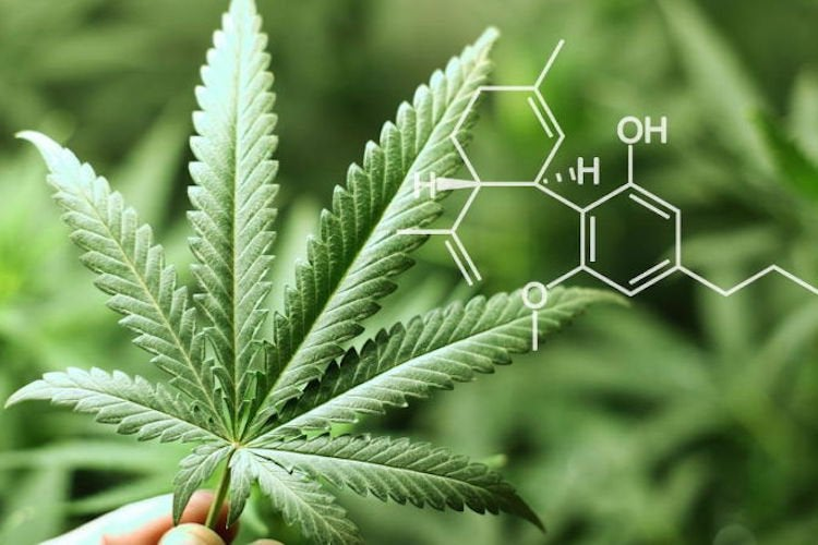 73% of Oncology Providers See Benefit of Medical Marijuana