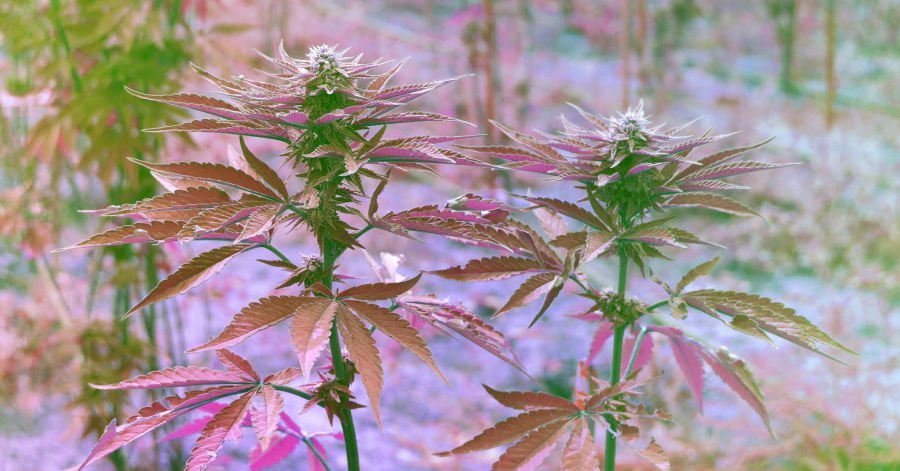 Marijuana Producers Lobby Congress for SAFE Banking Act