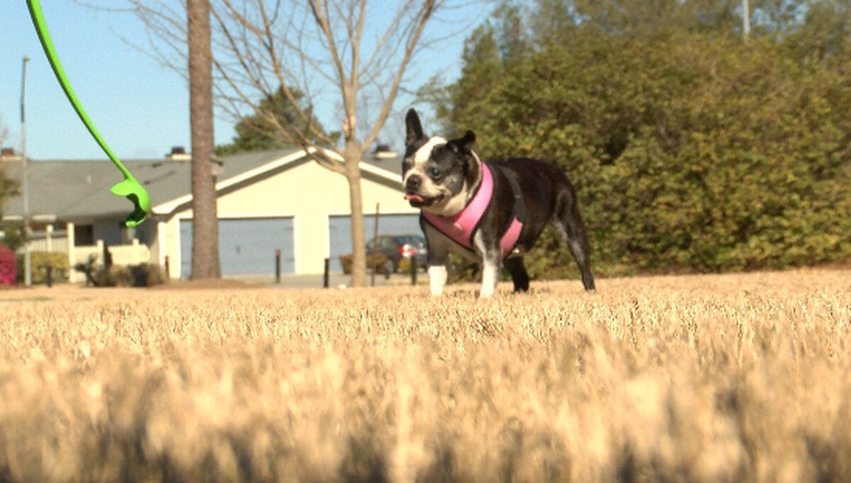 """CBD for dogs popular among owners; vets warn of quality control: """"It is illegal for veterinarians to prescribe CBD, and I think that's where that comes from because it's a very murky area when we're dealing with federal law and we're dealing with state law"""