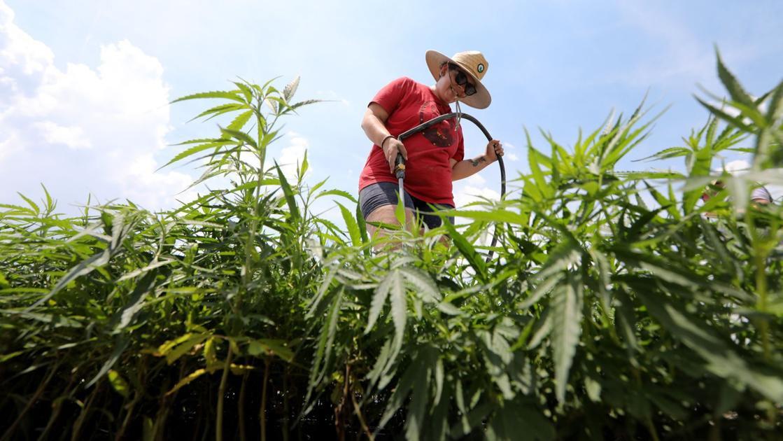 88,000 hemp plants land at Chesapeake farm after law allows commercial farming of marijuana look-alike