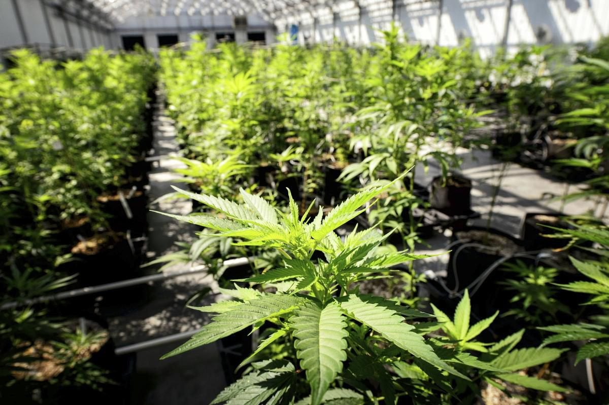 Flavonoids are the next big thing in marijuana research