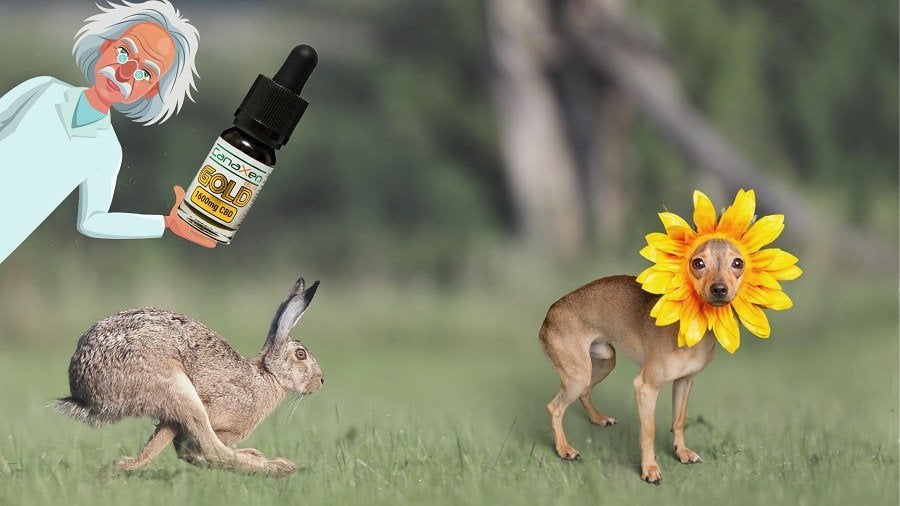 I've started using CBD oil for a hangover cure, I use whole plant and it works a treat. Even after other things if you get me. Why then, if I have a THC doobskin the morning after, I start sweating profusely and collapse in a quivvering mess of white deathy-ness? Serious ques.