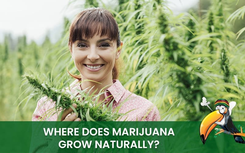 Where Does Marijuana Grow Naturally